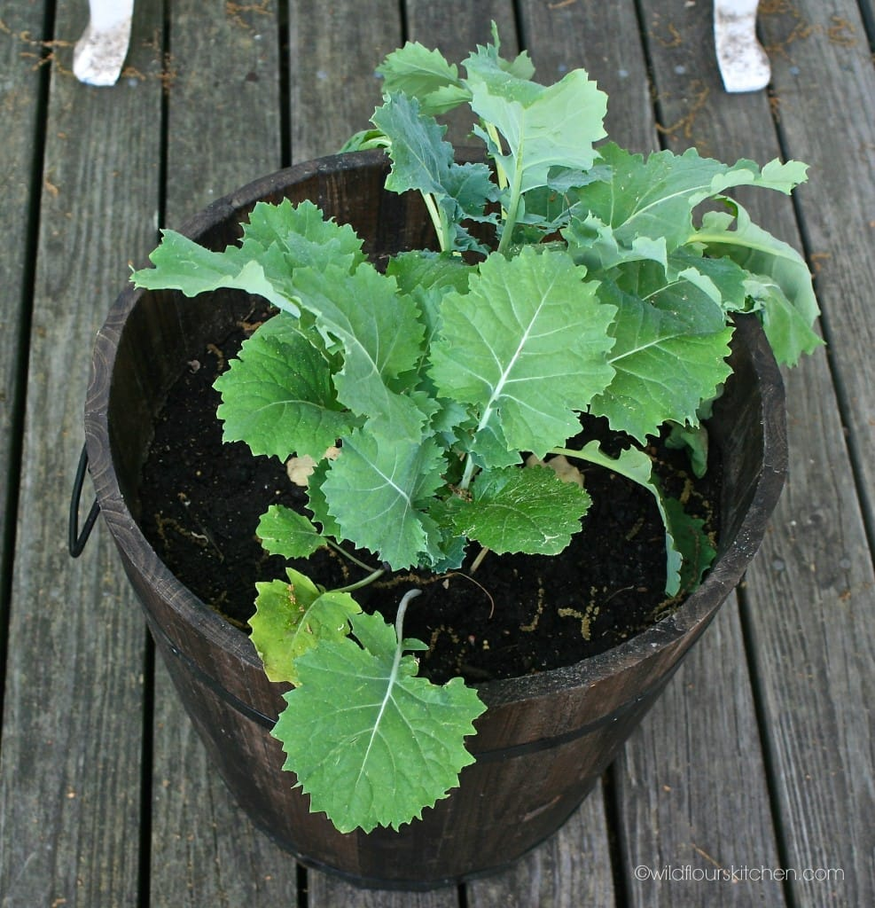 kale plant before